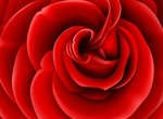 Realistic Red Rose Vector Graphic