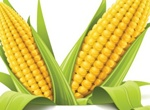 Harvest Corn Maize Vector Ilustration