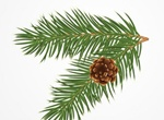 Realistic Pine Bough With Cone Vector Graphic