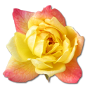Rose, Yellow Icon