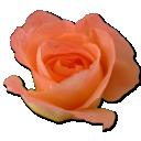 Peach, Rose Icon
